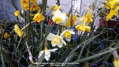 Mixed Daffodil flowers in trough on balcony floor 30th March 2019 (D@viD_2.011) Tags: mixed daffodil flowers trough balcony floor 30th march 2019