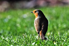 No matter how dark things get there's always light at the end (Paul Wrights Reserved) Tags: robin robins bird birding birds birdphotography birdwatching