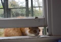 Jimmy at the window, 3 (rootcrop54) Tags: jimmy orange ginger tabby male cat open window insideoutside neko macska kedi 猫 kočka kissa γάτα köttur kucing gatto 고양이 kaķis katė katt katze katzen kot кошка mačka gatos maček kitteh chat ネコ insidecatenclosure