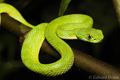 March's palm pit viper (Bothriechis marchi) (edward.evans) Tags: bothriechis marchi bothriechismarchi palmviper marchspalmviper viper snake herp sierradelmerendón merendónmountains merendonmountains honduras cusuco cusuconationalpark cloudforest rainforest wildlife nature herping herps pitviper reptile viperidae crotalinae