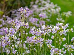 Lady's Smock (niloc's pic's) Tags: ladyssmock cardaminepratensis wildflower mauve flower brightling eastsussex panasonic lumix dmcgh4r