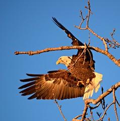 look before you leap (David Sebben) Tags: bald eagle nature bird raptor mississippi river