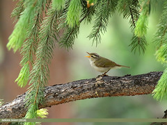 Western Crowned Warbler (Phylloscopus occipitalis) (gilgit2) Tags: avifauna birds canon canoneos7dmarkii category fauna feathers geotagged gilgit gilgitbaltistan imranshah location naltar pakistan species tags tamron tamronsp150600mmf563divcusd westerncrownedwarblerphylloscopusoccipitalis wildlife wings gilgit2 phylloscopusoccipitalis
