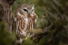 Saw-Whet Owl #4 (lifer explored 1/7/19) (Kevin E Fox) Tags: sawwhetowl owl raptor newjersey bird birding birdwatching birds birdofprey birdphotography nature nikond500 nikon sigma150600sport sigma explored
