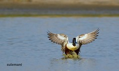 2E6A8767a (TARIQ HAMEED SULEMANI) Tags: sulemani tariq tourism trekking tariqhameedsulemani winter wildlife wild birds nature nikon