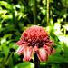 rose de porcelaine (Etlingera elatior)