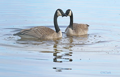 Geese in love (N.Clark) Tags: canadagoosebrantacanadensis pair courtship geeseinlove valentinesdy romance romantic heartshape waterfowl avian geese courtshipritual manitobabirds birds birdwatching birdbehaviour naturephotography birdphotography reflection naturethroughthelens