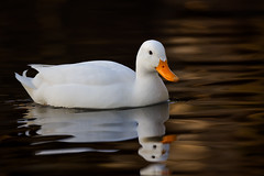 White duck (2/2) (Franck Zumella) Tags: white duck canard blanc bird oiseau nature animal wildlife lake lac water eau orange sunset coucher soleil sun color couleur reflection reflexion cute mignon golden hour toy winter hiver alone seul lonely unique night nuit light lumiere