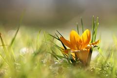 i miei bulbi sono al secondo anno (@5imonapol) Tags: crocus flower february winter sanpietroinlucone