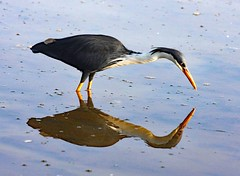 Pied Heron . Yellow Water Lagoon (Uhlenhorst) Tags: 2009 australia australien animals tiere birds vögel travel reisen