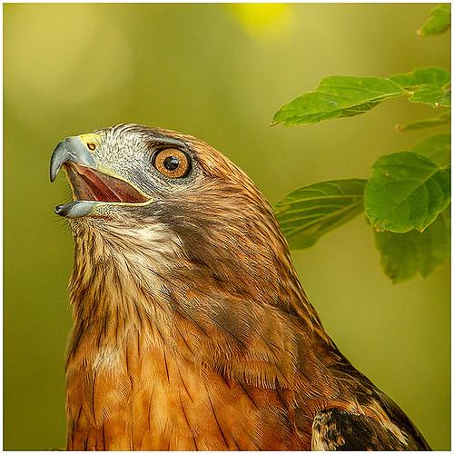 Broad Winged Hawk  by Don Cochrane- Award Class B Print - January 2019