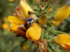 Coccinella septempunctata (rockwolf) Tags: 7spot ladybird coccinelle coccinellidae coccinellaseptempunctata coccinelleà7points insect beetle coleoptera gorse radbrook shrewsbury shropshire rockwolf