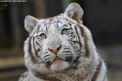 Bengal white tiger - Zoo Amneville (Mandenno photography) Tags: animal animals dierenpark dierentuin dieren zoo zooamneville amneville france frankrijk nature natgeo natgeographic bengal bengaalse tiger tigers tijgers tijger white whitetiger cub bigcat big cat cats eyes