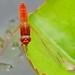 Broad Scarlet Dragonfly (Crocothemis erythraea) male ...