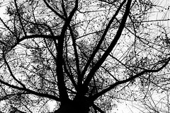 winter tree (Francis Mansell) Tags: tree plant cone cones branch twig silhouette winter brooklyn newyork prospectpark monochrome blackwhite niksilverefexpro2