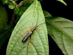 Longhorn beetle, Disteniidae (Ecuador Megadiverso) Tags: andreaskay beetle cerambycidae coleoptera ecuador jardinbotanicolasorquideas longhornbeetle disteniidae
