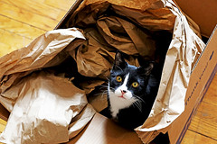 Happy Birthday, Jarvis Cocker! (kirstiecat) Tags: kitty feline cat chat gato catinabox caturday pet meow animal delivery box happybirthday tuxedocat blackcat littledoglaughedstories