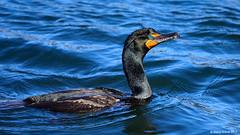 Double-crested Cormorant (Phalacrocorax auritus) (Steve Arena) Tags: bourne capecodcanal doublecrestedcormorant cormorant corm phalacrocoraxauritus barnstablecounty massachusetts 2017 d750 nikon bird birds birding