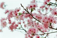 初春令月,氣淑風和 ([M!chael]) Tags: nikon f3hp nikkor 5014 ai fujifilm superia400 hsinchu film manual taiwan flower cherry