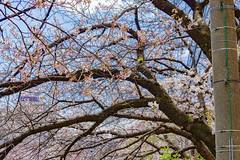 RAW_IMGP4418 (kirinoa) Tags: 横浜市 神奈川県 日本 jp 日ノ出町 黄金町 大岡川 桜