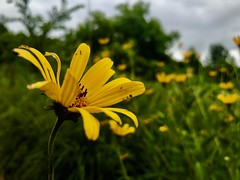 Beauty comes in the small things🌼 (ewalker0298) Tags: nature photo daily enjoy love happiness dream creative create beauty littlethings caption shot moment iphoneography photography flower yellow