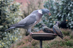 How many times do I have to tell you....... (the.haggishunter) Tags: wild birds british pigeon woodpigeon starling garden table