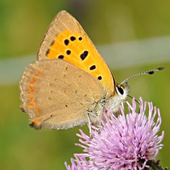 Small Copper! ('cosmicgirl1960' NEW CANON CAMERA) Tags: bugs insects butterflies colourful nature wings summer countryside devon dartmoor yabbadabbadoo parks gardens