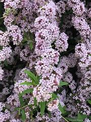 lilas© (alexandrarougeron) Tags: photo alexandra rougeron flickr fleurs nature plante végétal végétale ville beauté couleur frais