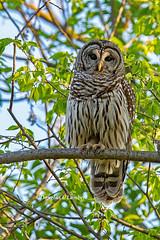 Polk County, Iowa May 5,2017 (Doug Lambert) Tags: barredowl perched raptor bird birding nature wildlife spring tree midwest tamron150600 canon6d polkcounty iowa urbandale