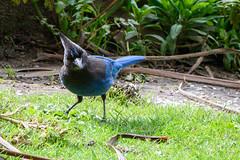 Steller's Jay (phoca2004) Tags: stowlake z6 nikon sanfrancisco birds cyanocittastelleri goldengatepark stellersjay birding california unitedstatesofamerica us