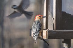 Red-bellied woodpecker ♂︎ (sniggie) Tags: boylecounty kentucky melanerpescarolinus picidaefamily birdfeeder birdseed adutmalebird bird woodpecker