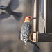 Red-bellied woodpecker ♂︎
