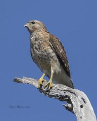 red-shouldered hawk (wandering tattler) Tags: hawk raptor redshouldered predator sky branch bird wildlife talons juvenile florida venice rookery venicerookery 2019