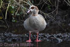 Egyptian Goose (Cheryl's Wildlife) Tags: wildlife nature suffolk rspb birds 2019 birdwatching nikon sigma photography east eastanglia naturereserve wildlifetrust riverlark weststow
