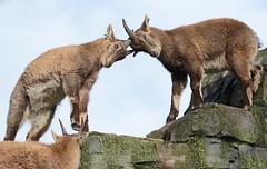alpine ibex Artis 094A0697 (j.a.kok) Tags: animal artis alpensteenbok alpineibex europe europa steenbok ibex mammal zoogdier dier