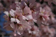 Almendros al sol (Rabadán Fotho) Tags: flor flores flowers floración flower fotografia flordealmendro florrosa floresrosas trees