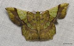 Geometer Moth, Neagathia corruptata, Geometridae (Ecuador Megadiverso) Tags: andreaskay ecuador geometermoth geometridae moth wildsumaco neagathiacorruptata