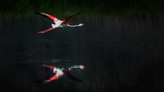 First light landing (AndreDiener (ALDPhoto)) Tags: bird flamingo pink pinkflamingo water dark wild large reflection nature birdinflight