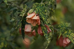 (natyasanchez) Tags: flowers plants malvaceae botany flora ladybug leaves flowering maple shrub abutilon abutilonpictum