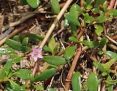 Sesuvium portulacastrum leaves and flowers
