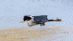 "Grey Heron in flight. Lackford Lakes, Suffolk. (Steve Moore-Vale) Tags: avian birdwatching bird winter lackford suffolk flying flight heron ""greyheron"""