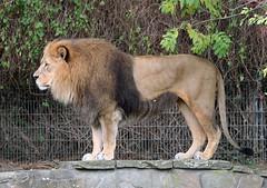 Lion profile (Schwanzus_Longus) Tags: dortmund zoo german germany animal mammal feline big cat lion africa savanna