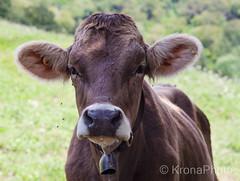 Curious cow, Italy (KronaPhoto) Tags: italia reiser natur sommer