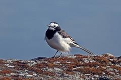 Pied Wagtail !! (Lopamudra !) Tags: lopamudra lopamudrabarman lopa darjeeling himalaya himalayas westbengal piedwagtail wagtail bird beautiful