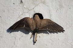 An inspection. Common Kestrel ♀ (Vitaly Giragosov) Tags: falcotinnunculus commonkestrel birdofprey crimea sevastopol russia пустельга севастополь крым россия