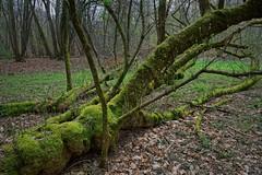 Im Oberwald (nordelch61) Tags: deutschland hessen heimat darmstadt oberwald totholz moos stamm äste zweige frischesgrün wald forest trees fairytale enchanted märchenhaft verzaubert