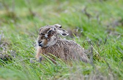 The wind through my Hare! (pstone646) Tags: conjoe hare animal nature wildlife mammal fauna grassland elmley kent windy whiskers