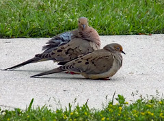 Pair Of Mourning Doves. (dccradio) Tags: lumberton nc northcarolina robesoncounty outdoor outside outdoors nature natural wildlife animal bird birds dove doves mourningdove mourningdoves sidewalk concrete cement april spring springtime friday fridaynight fridayevening evening goodevening nikon coolpix l340 bridgecamera pair two duo duet greenery grass lawn yard ground yellowflowers weeds