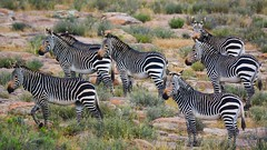 Mountain Zebra National Park, South Africa (SuzieAndJim) Tags: suzieandjim africa south park national zebra mountain