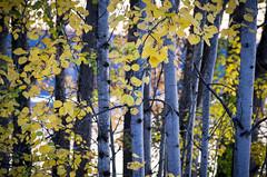 Autumn Alderwoods at Sunset (s.d.sea) Tags: lake sammamish washington washingtonstate wa lakeside outdoors pnw park pacificnorthwest redmond pentax k5iis sunset trees trunks leaves fall autumn